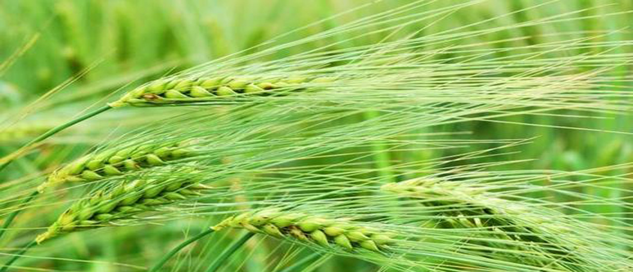 green barley plus test